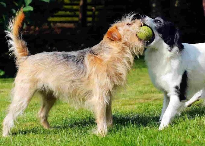 Irish Dog Breeds List - Top 10 Popular Irish Dogs From Ireland
