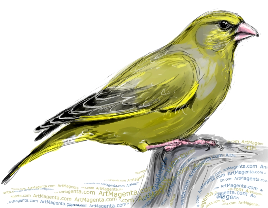 Greenfinch sketch painting. Bird art drawing by illustrator Artmagenta
