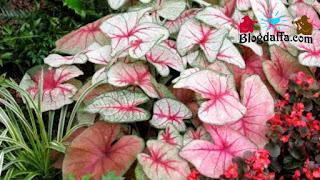 Cara merawat dan menanam bunga keladi