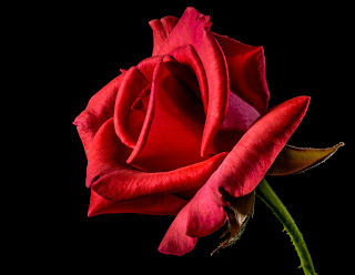 Red rose with black background whatsapp dp hd image