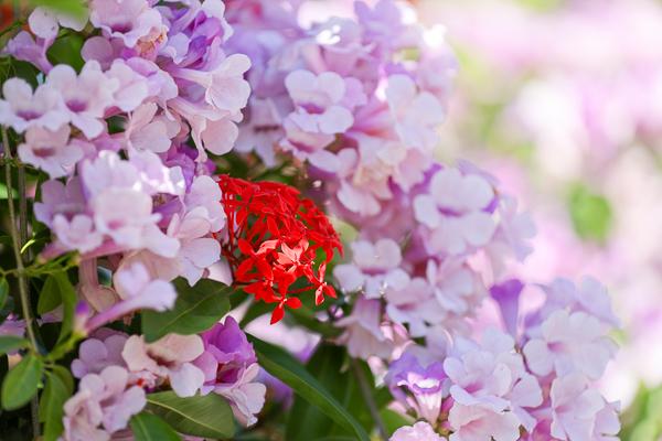 苗栗楓樹社區蒜香藤秘境,上百公尺粉紅蒜香藤花牆好好拍