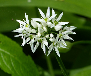 Wild garlic is one of the 15 most popular herbs used in South African herbal medicine.