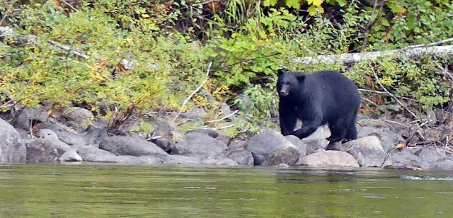 Schwarzbär am Stamp River