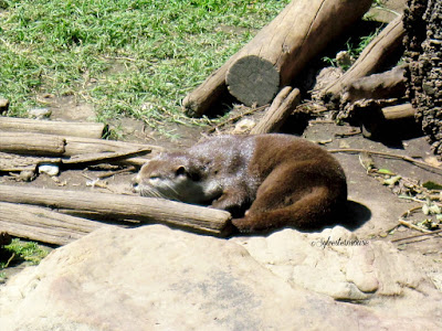 The Memphis Zoo Review - Asian Small-Clawed Otter