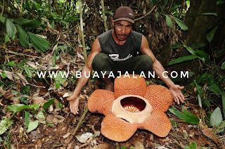 Rafflesia_arnoldii