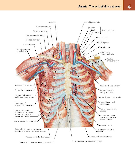 Anterior Thoracic Wall (continued) Anatomy  Clavicle, Subclavius muscle, Trapezius muscle Thoracoacromial artery Coracoid process, Cephalic vein, Pectoralis major muscle (cut), Intercostobrachial nerve Pectoralis minor muscle, External intercostal muscles, Long thoracic nerve and lateral thoracic artery, Digitations of serratus anterior muscle, Lateral cutaneous branches of intercostal nerves and posterior intercostal arteries, External intercostal membranes anterior to internal intercostal muscles, Transversus abdominis muscle, Rectus abdominis muscle and sheath (cut).