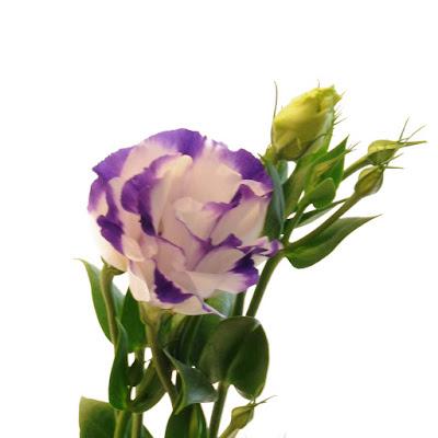 Bi-Color Purple and White Lisianthus