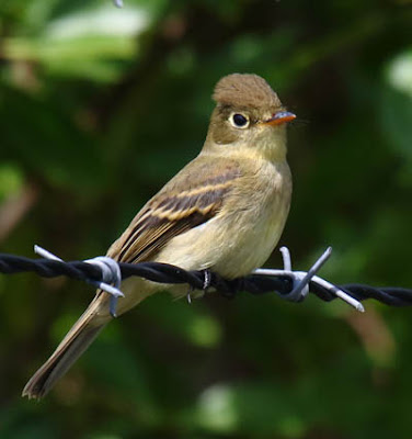 Photo of Pacific-slope Flycatcher on fence line