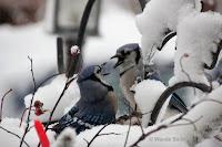 Blue jays squabbling – Souris, PEI – Jan. 2, 2018 – © Wanda Bailey