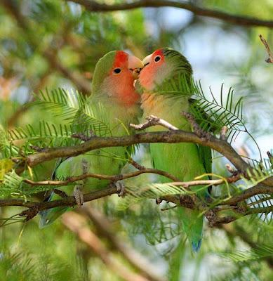Cara praktis membedakan lovebird import dan lokal