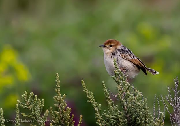 Levaillant's cisticola Table Bay Nature Reserve