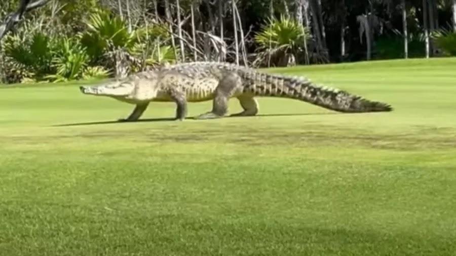 Crocodilo passeia em campo de golfe