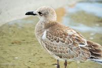 Laughing gull juvenile, Aransas Bay,  TX - by Jodi Arsenault, Sept. 2, 2016