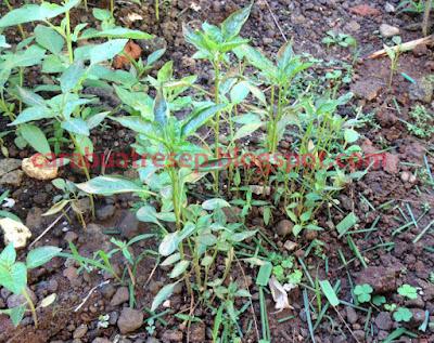 Foto Resep cara membuat benih bibit cabe rumahan berkualitas baik