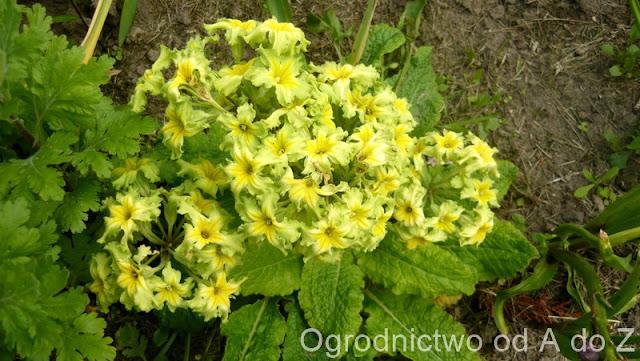 Primula polyantha 'Francisca'