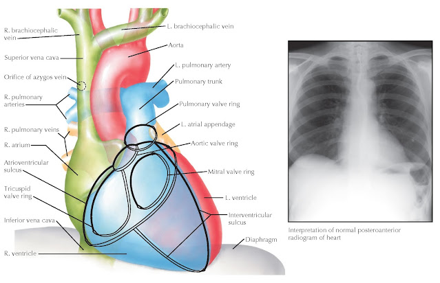 Posteroanterior chest radiograph with corresponding cardiovascular structures.