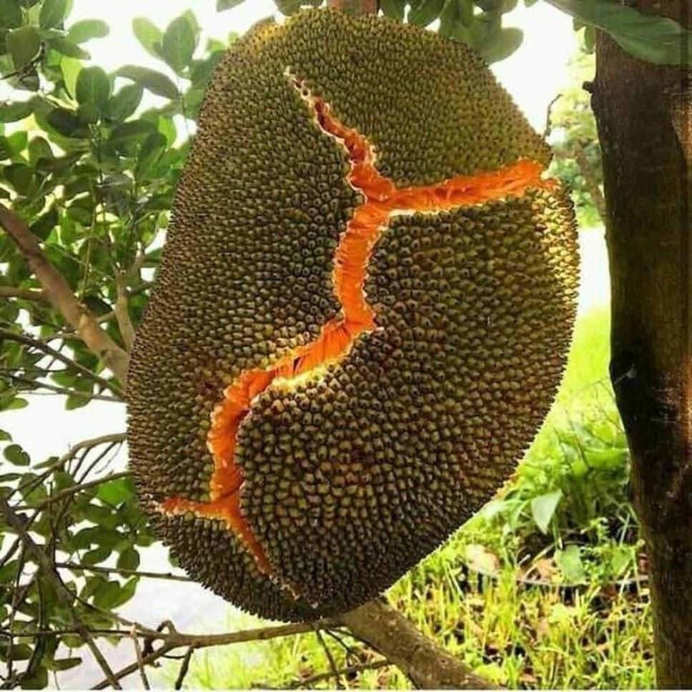 Bibit nangka merah cepat berbuah Sulawesi Selatan