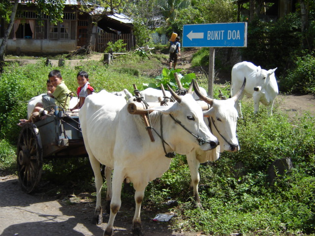 Pedati sapi di Sulawesi utara