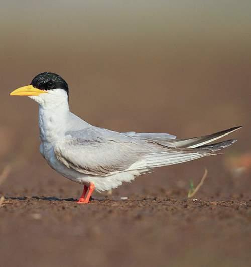 Birds of India - Photo of River tern - Sterna aurantia