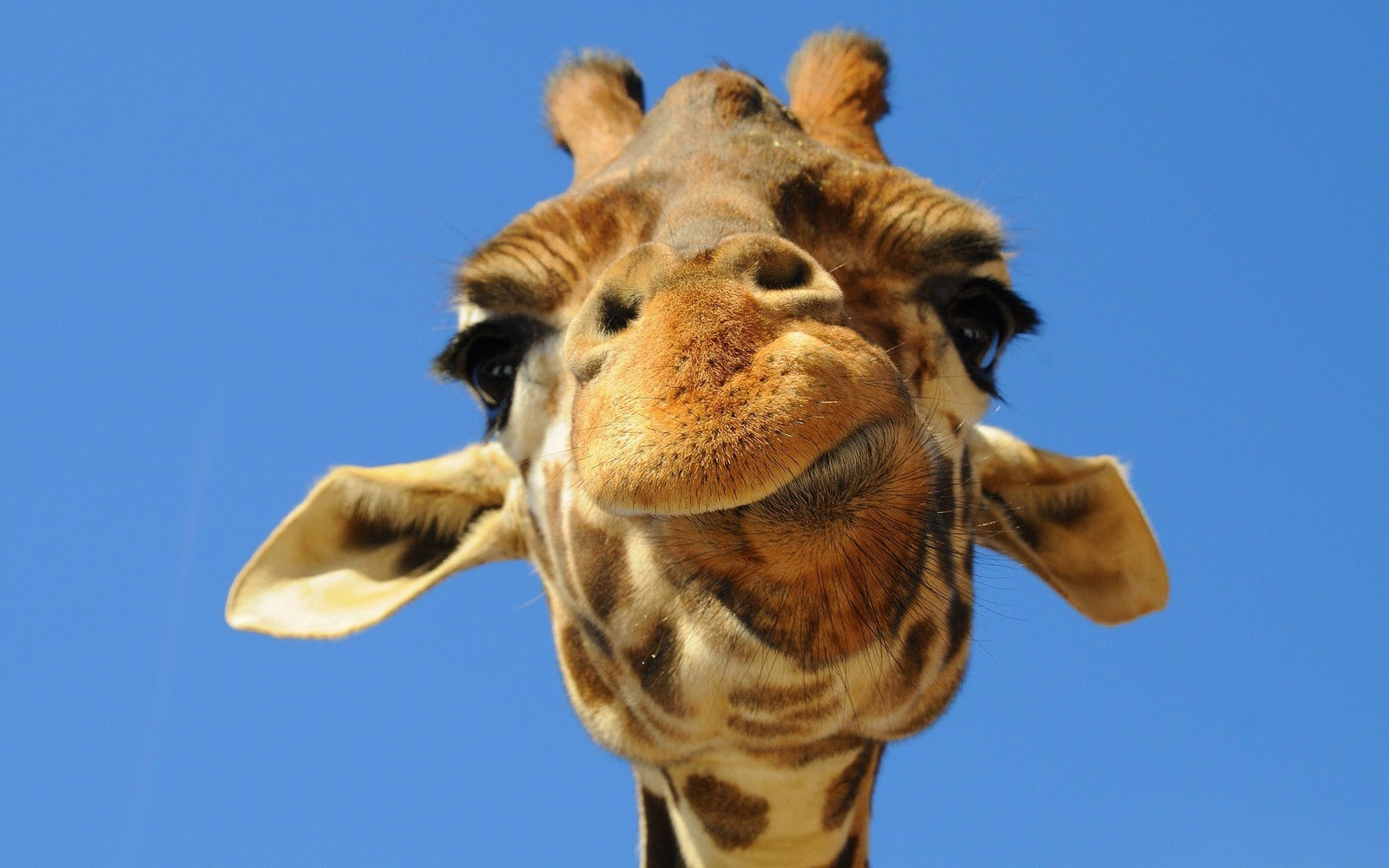 1920x1080 funny giraffe desktop - photo #21