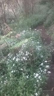 Bunga edelvis di gunung lawu