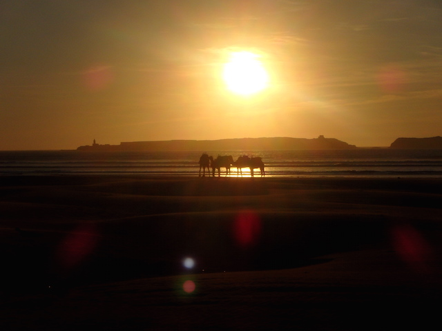 Camels on the beach at sunset in Essaouira, Morocco