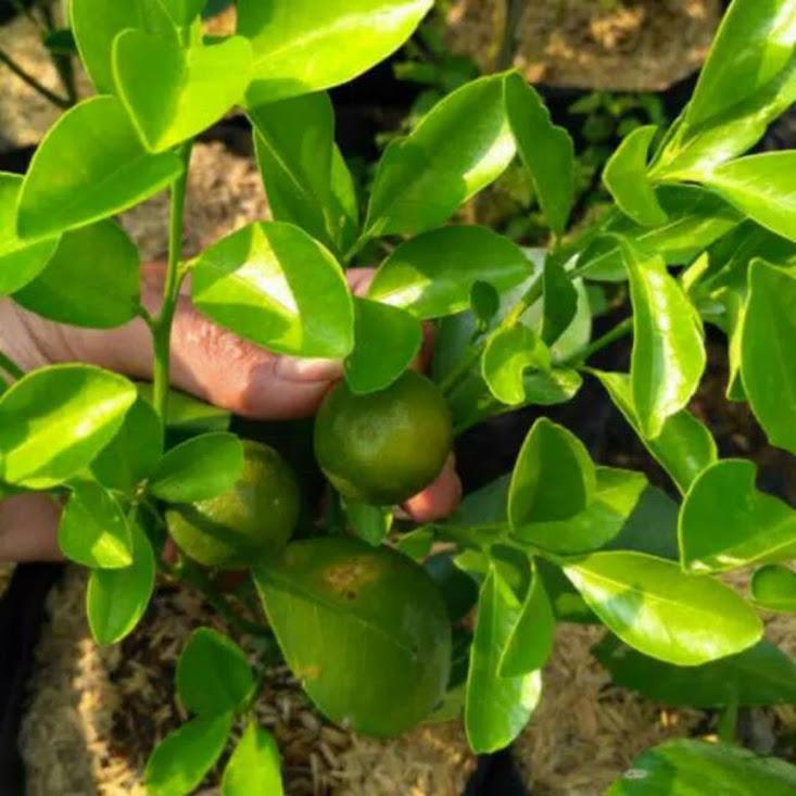Bibit buah jeruk kasturi atau kalamansi atau kolomonde berbuah Tegal