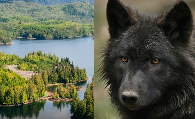Federal judge halts massive logging project to protect Rainforest and Archipelago wolves