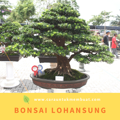 Bonsai Lohansung