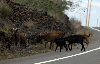 Group of five goats at the side of a curved road. Three goats are brown and two are black. Behind the goats are piles of dark brown lava stone and scattered clumps of dried grasses.