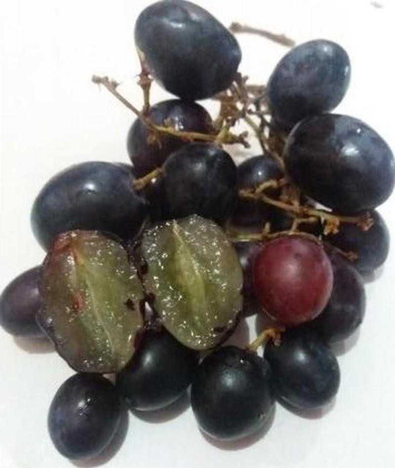 Bibit Tanaman Buah Anggur Hitam Tanpa Biji Bukittinggi