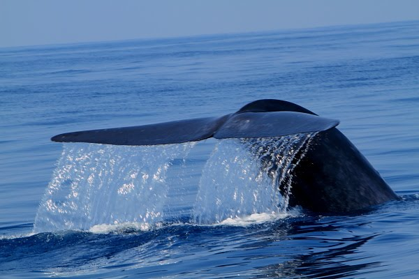Blue Whale Penis 38