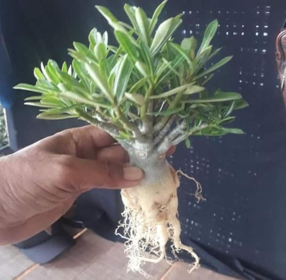 PROMO Bonsay pohon kamboja adenium cabang seribu bunga putih Payakumbuh