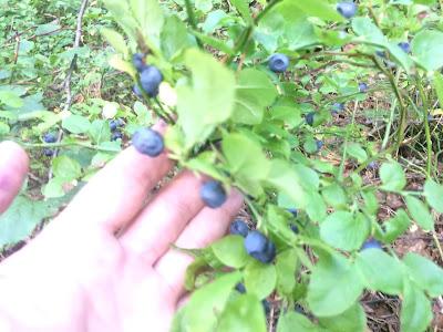 В лесу собираем чернику