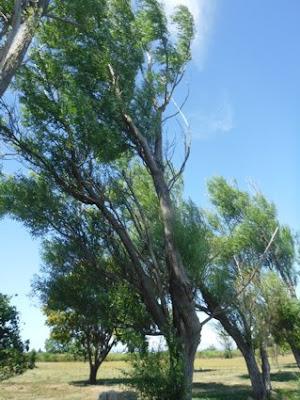 病状が残っているヤナギの木