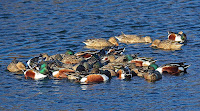 Large group of Northern shovelers swim around rapidly to create funnel effect which attracts prey