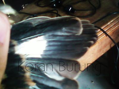 Cendet merupakan salah satu burung kicau yang mempunyai bunyi kicau yang indah dan bervari Ciri Burung Cendet Jantan Dan Betina Dewasa/Trotol