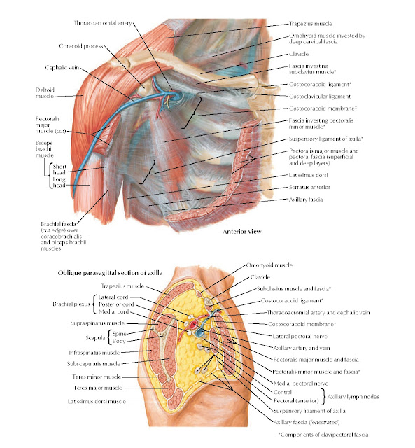 Pectoral, Clavipectoral, and Axillary Fasciae Anatomy