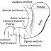 Congenital Hypertrophic Pyloric Stenosis