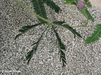 Mimosa leaflets fold when touched - Auckland Domain Conservatory, Auckland, New Zealand