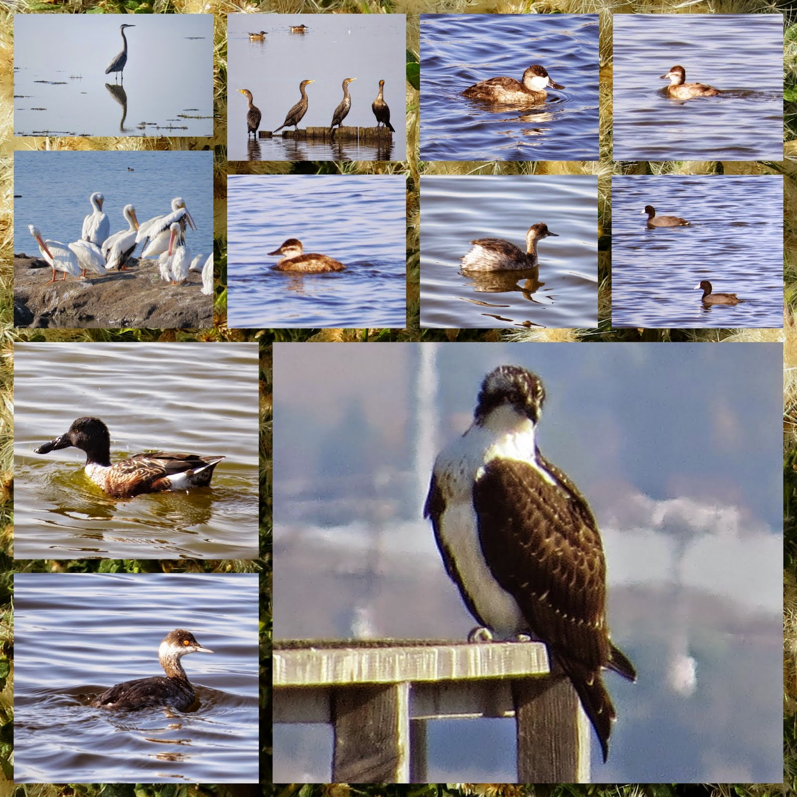 Birds of Alviso (including Osprey)