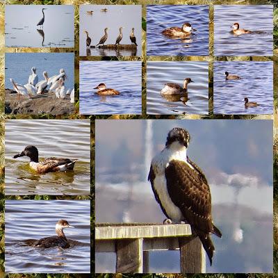 Bay Area Birds of Alviso (including Osprey)
