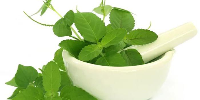 तुलसी की पत्तियों को चबाने से क्या नुक्सान होता है | What is the loss of chewing of basil leaves