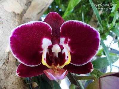 Orquídea Phalaenopsis na árvore