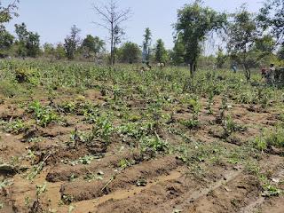 ग्यारह एकड़ में लगी अफीम की फसल की गई नष्ट,एसएसबी बाराचट्टी के नेतृत्व में ऑपरेशन।