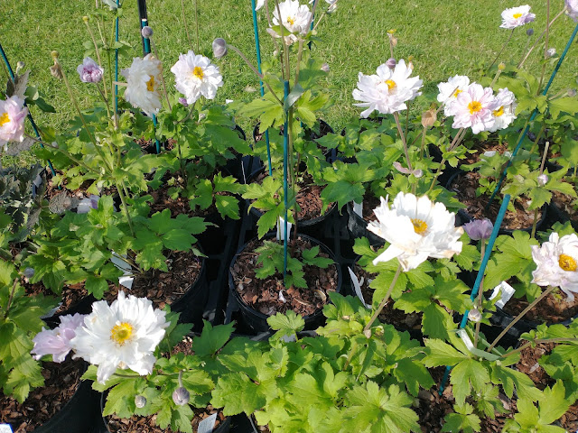 Some of the larger Anemone 'Frilly Knickers' on Hardy's plant stand at Malvern
