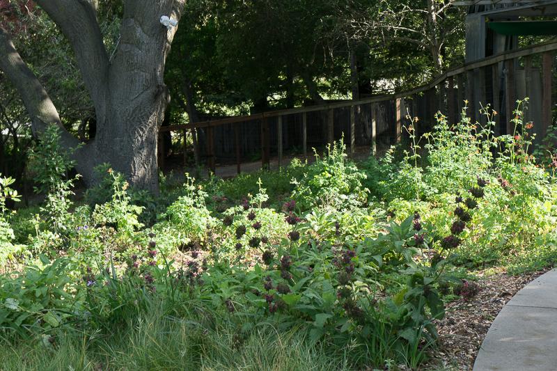 Salvia Spathacea Garden