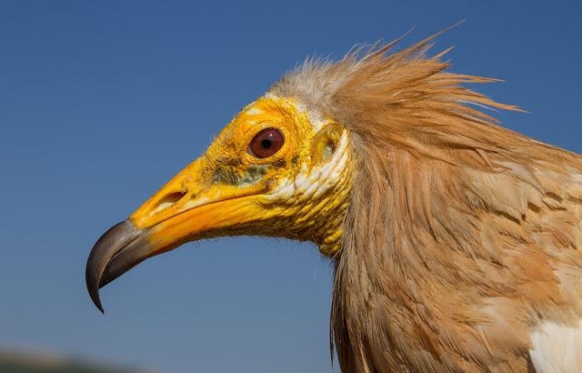 The highest mortality rate of endangered vultures occurs in southeastern Europe