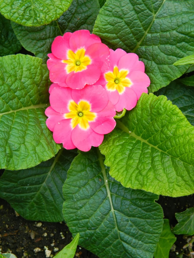 Allan Gardens Conservatory Spring Flower Show 2014 Primula polyanthus by garden muses-not another Toronto gardening blog