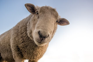a curious sheep